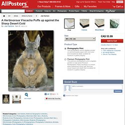 A Herbivorous Viscacha Puffs up against the Sharp Desert Cold Photographic Print by Joel Sartore at AllPosters