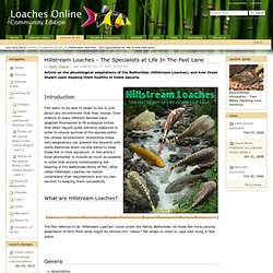 Hillstream Loaches - The Specialists at Life In The Fast Lane — Loaches Online