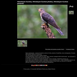 Himalayan Cuckoo, Himalayan Cuckoo photos, Himalayan Cuckoo pictures