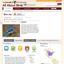 Blue Jay, Life History, All About Birds - Cornell Lab of Ornithology