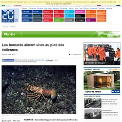 Les homards aiment vivre au pied des éoliennes