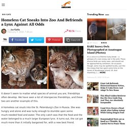Homeless Cat Sneaks Into Zoo And Befriends a Lynx Against All Odds