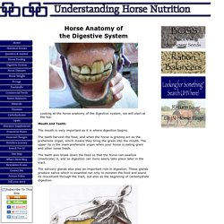 Horse Anatomy of the Digestive System
