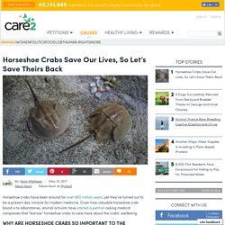 Horseshoe Crabs Save Our Lives, So Let's Save Theirs Back