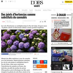 Des joints d'hortensias comme substituts du cannabis- 5 février 2014