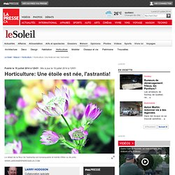 Horticulture: Une étoile est née, l'astrantia!