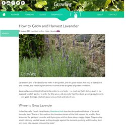 How to Grow and Harvest Lavender