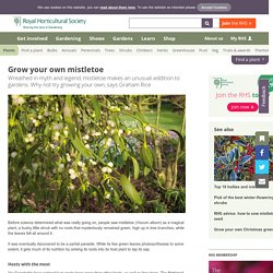 How to grow your own mistletoe – RHS Gardening