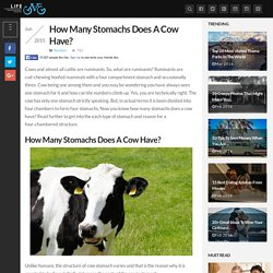 How Many Stomachs Does A Cow Have?