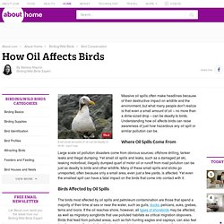 How Oil Affects Birds