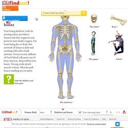 Human Skeleton for Kids