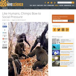 Like Humans, Chimps Bow to Social Pressure