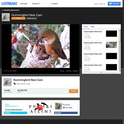 Hummingbird Nest Cam, Ustream.TV: Phoebe is a Channel Island Allen (S.s. sedentarius) hummingbird in Orange County, California. She has been laying 4 to 5