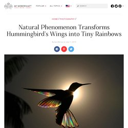 Amazing Shots of a Rainbow Hummingbird Captures Natural Phenonmena