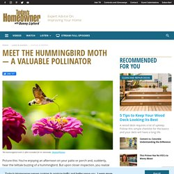 Meet the Hummingbird Moth — A Valuable Pollinator