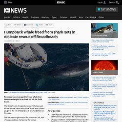Humpback whale freed from shark nets in delicate rescue off Broadbeach