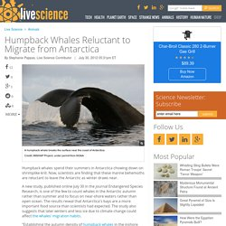 Humpback Whales Reluctant to Migrate from Antarctica