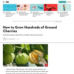 How to Grow Hundreds of Ground Cherries - Tips for Planting Cape Gooseberries