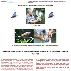 Ron Huntley's Rare Colored Homing Pigeons