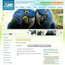 Hyacinth macaw - Philadelphia Zoo