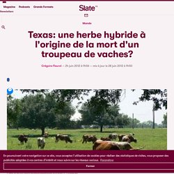 Texas: une herbe OGM à l'origine de la mort d'un troupeau de vaches?