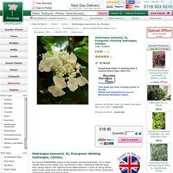 hydrangea-seemanii-evergreen-climbing-hydrangea-climber-p-78169