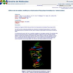 ADN en voie de mutation pbd