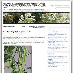 Seed saving Bell pepper seeds