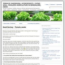 Seed Saving – Tomato seeds