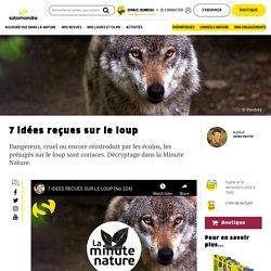 7 idées reçues sur le loup