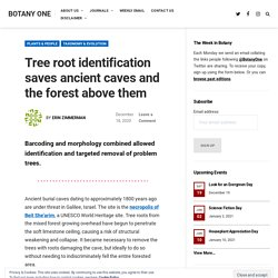 Tree root identification saves ancient caves and the forest above them