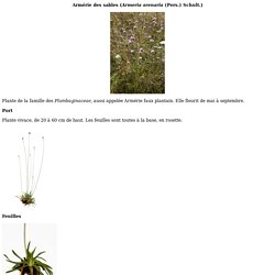 Identification assist e par ordinateur (IAO) :Arm rie des sables (<I>Armeria arenaria</I> (Pers.) Schult.)