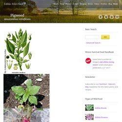 Pigweed: Pictures, Flowers, Leaves and Identification