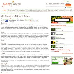 Identification of Spruce Trees