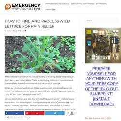 How to Find, Identify & Process Wild Lettuce For Natural Pain Relief