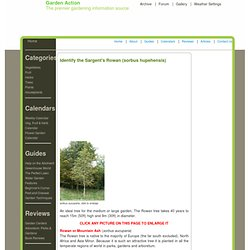 How to identify sorbus aucuparia, Rowan Tree