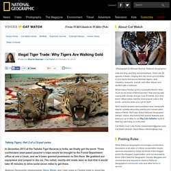 Illegal Tiger Trade: Why Tigers Are Walking Gold