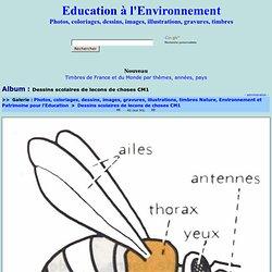 abeille-schema.jpg - Photos, coloriages, dessins, images, gravures, illustrations, timbres Nature, Environnement et Patrimoine pour l'Education