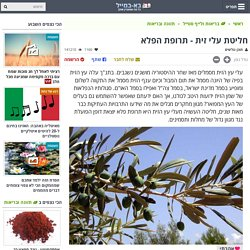 תה מעלי עץ הזית - תרופת הפלא