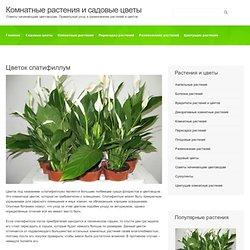 Цветок спатифиллум. Уход за растением. Пересадка и размножение