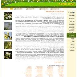 צמח השדה : : משפחת המצליבים