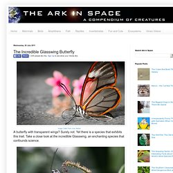 The Ark In Space: The Incredible Glasswing Butterfly