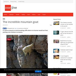 The incredible mountain goat - ONEjive.com