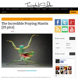 The Incredible Praying Mantis