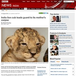 India lion cub leads guard to its mother's corpse