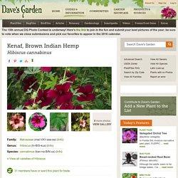 Kenaf, Brown Indian Hemp Hibiscus cannabinus