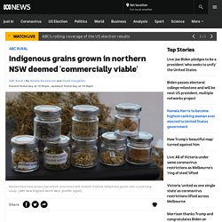 Indigenous grains grown in northern NSW deemed 'commercially viable' - ABC News