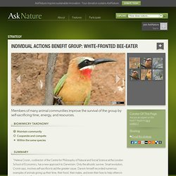 Individual actions benefit group: white-fronted bee-eater
