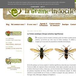 La Graine Indocile: Le frelon asiatique (Vespa velutina nigrithorax)