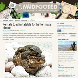 Female toad inflation mechanism prevents passionate males